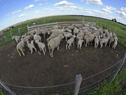 Establecimiento de ganado ovino en Paysandú