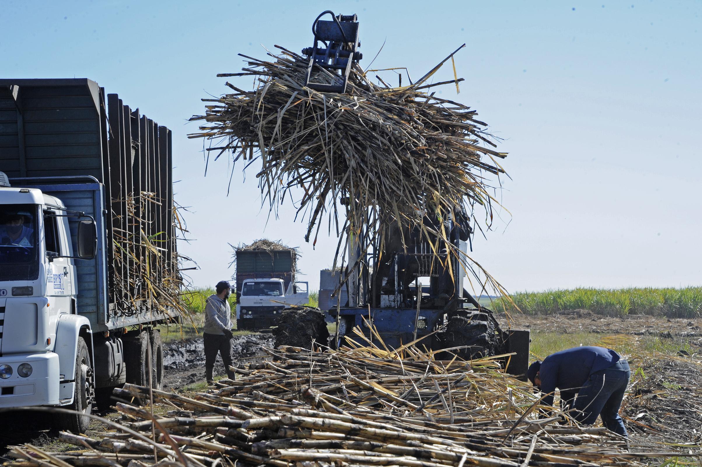 Cosecha de caña de azúcar en Bella Unión